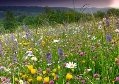 Blühende Magerwiese auf der Schwäbischen Alb